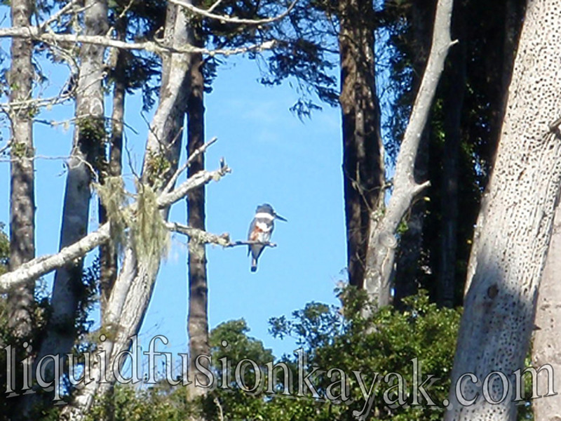 kayak, birding, kingfisher, mendocino, tour